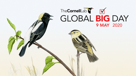 From the Cornell Lab: Global Big Day!