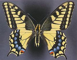 Papilio machaon dodi.jpg