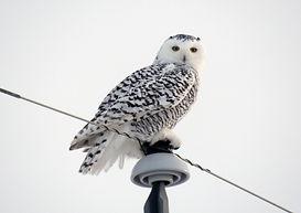 20161218-7, Snowy Owl, NE of Stettler, C