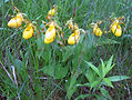 Cypripedium calceolus, Narrows, 15 Jun 2