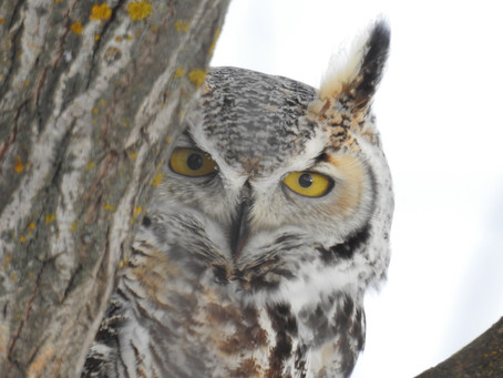 An Eventful Spring 2021 Owl Count