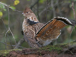 Ruffed-grouse-image.jpg