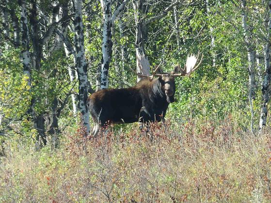 20170917-4, Bull moose, Big Knife Provin