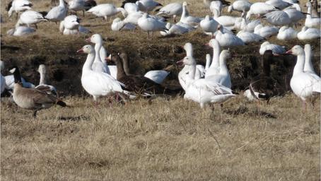 Erskine Geese