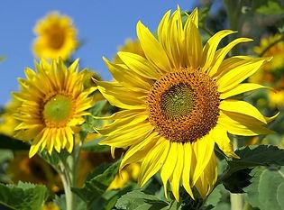 sun-flower-3526901_640.jpg