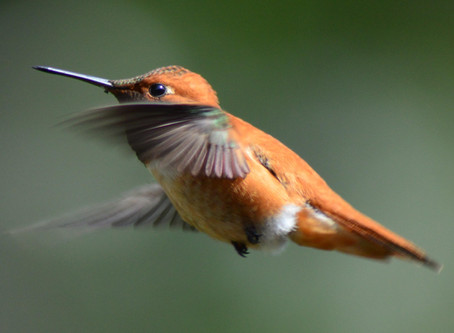 The Rufous Hummingbirds Are Back!