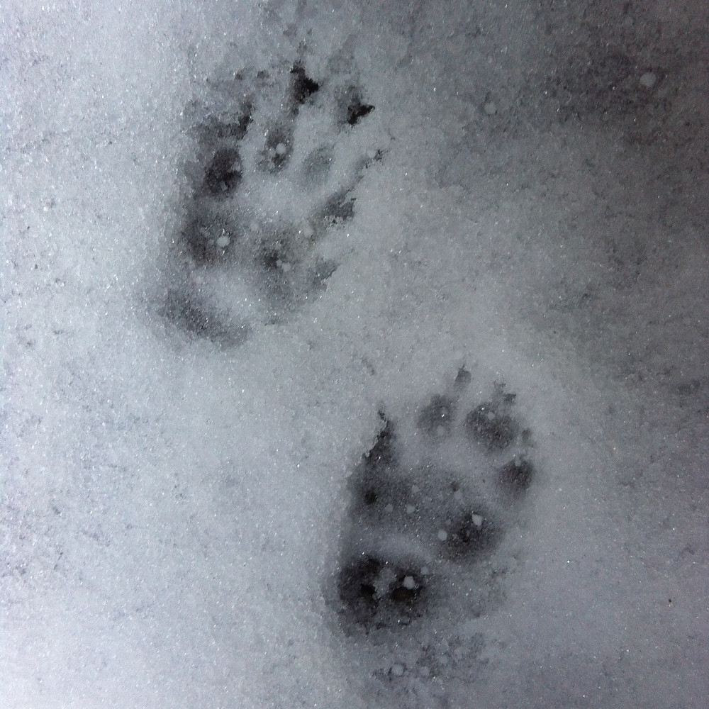 skunk track. Photo by Caitlan Read.