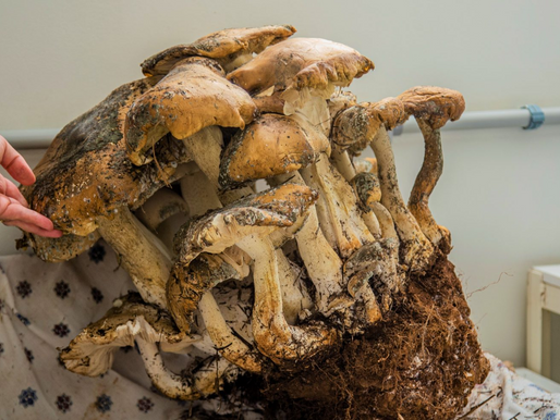 Fungo gigante encontrado em Maravilha é doado à Unochapecó