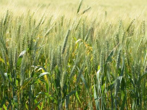 SC anuncia investimento de R$ 5 milhões plantio de cereais de inverno