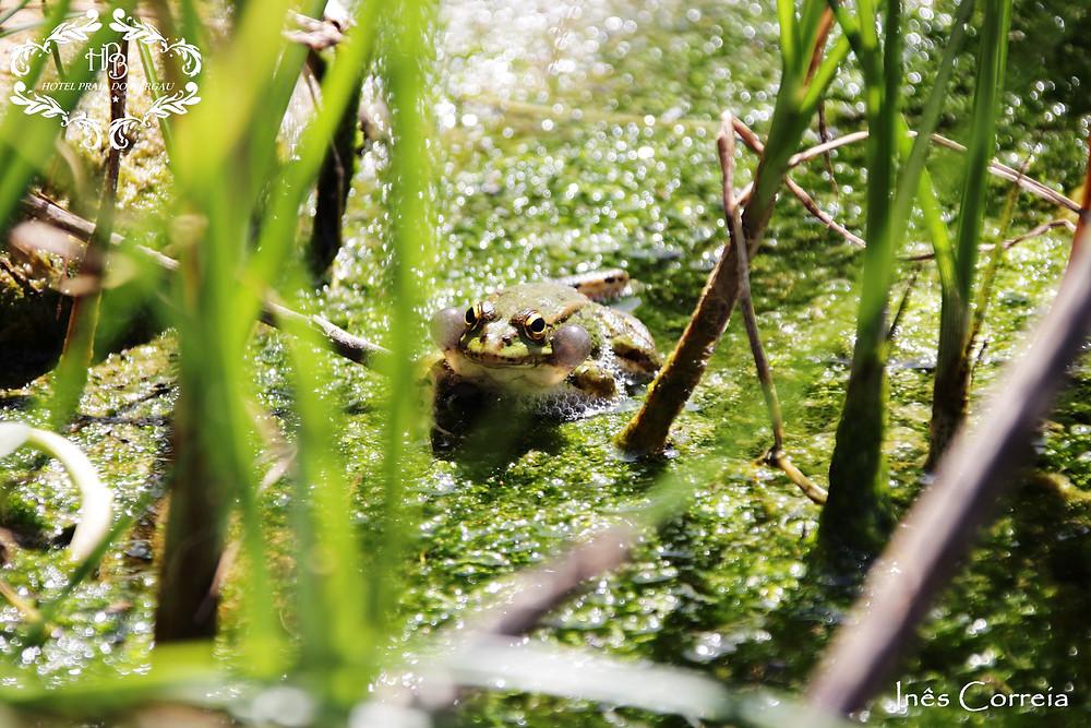 Rã- verde (Rana perezi)
