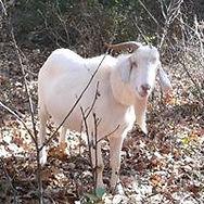 Jett The Goat