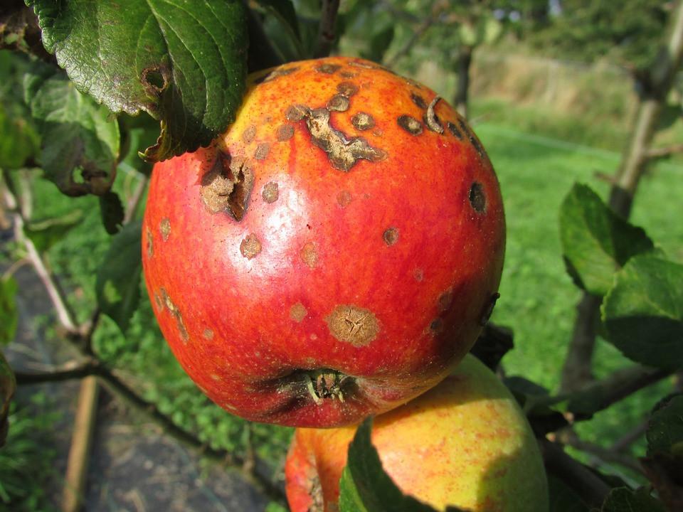 Bad Apple Corruption