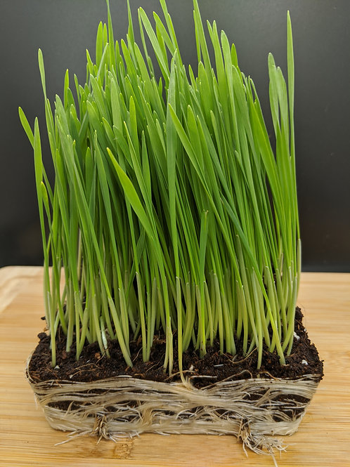Wheatgrass/Pet Grass