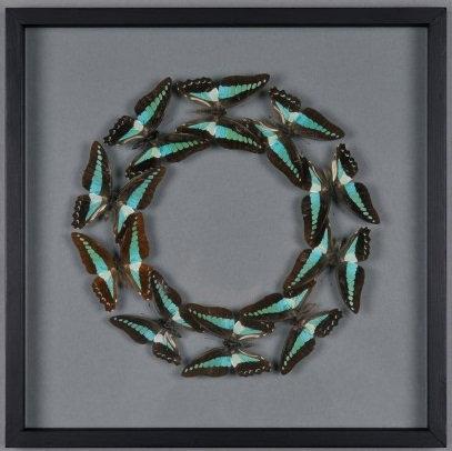 Graphium Butterflies Frame Box n°10
