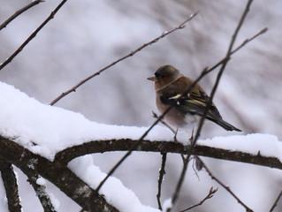 Die Buchfinken