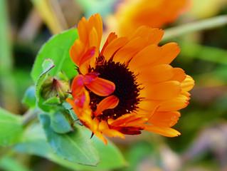 Die Ringelblumen