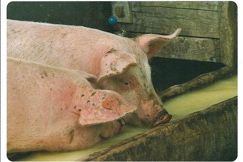 236 Schweine sind die besten Molkeverwerter