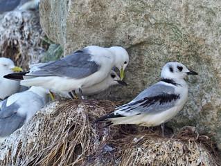 Bulbjerg und die Vögel