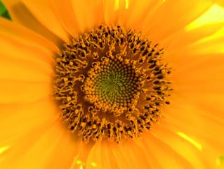 Die Sonnenblumen