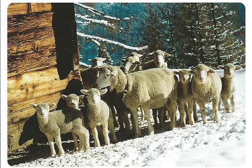 87 Kultur in Graubünden, z.B. Schamserberg, wo (noch) kleine Schaffamilien zu ..