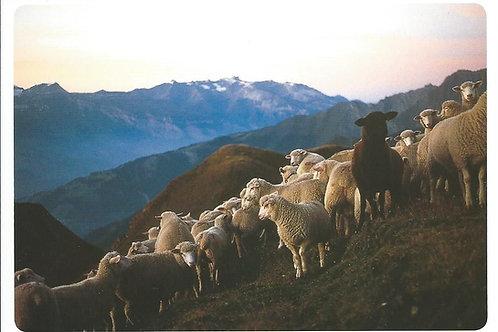 27 Zuoberst sind die Schafe