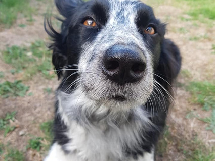 A Border Collie Named Ruby