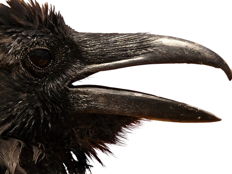 raven-2568567.png