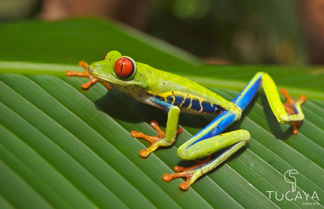 Tucaya-Costa-Rica-tree-frog.jpg