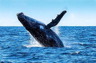 baleine-panama.jpg