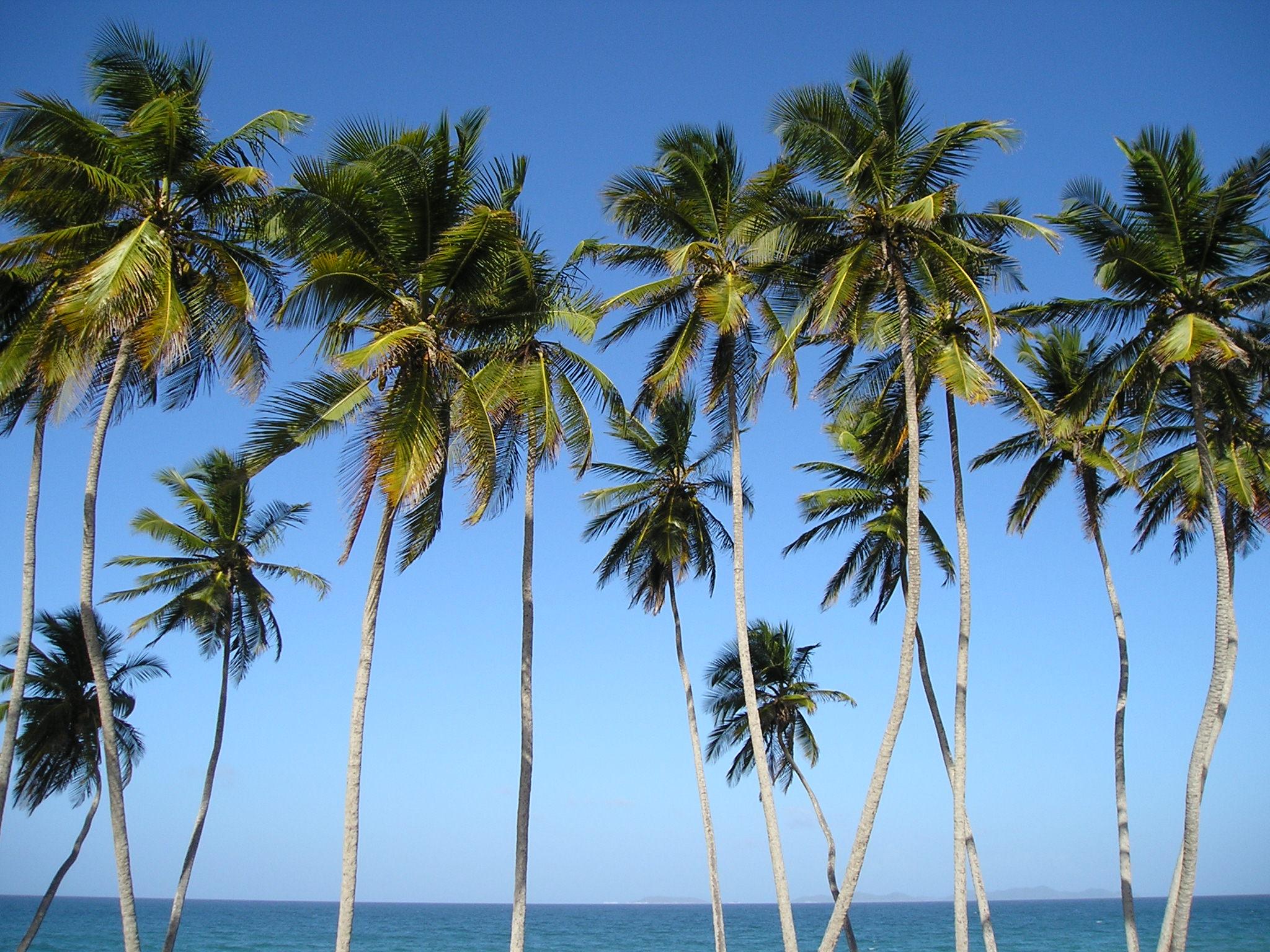 Palmiers de Margarita