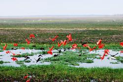 Los Llanos, vol de flamands