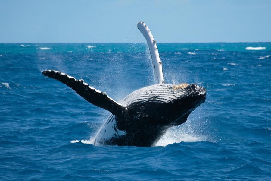 Baleine, Golf de Chiriqui