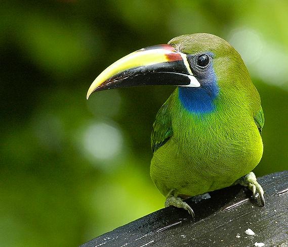 Costa Rica Tucanet.jpg