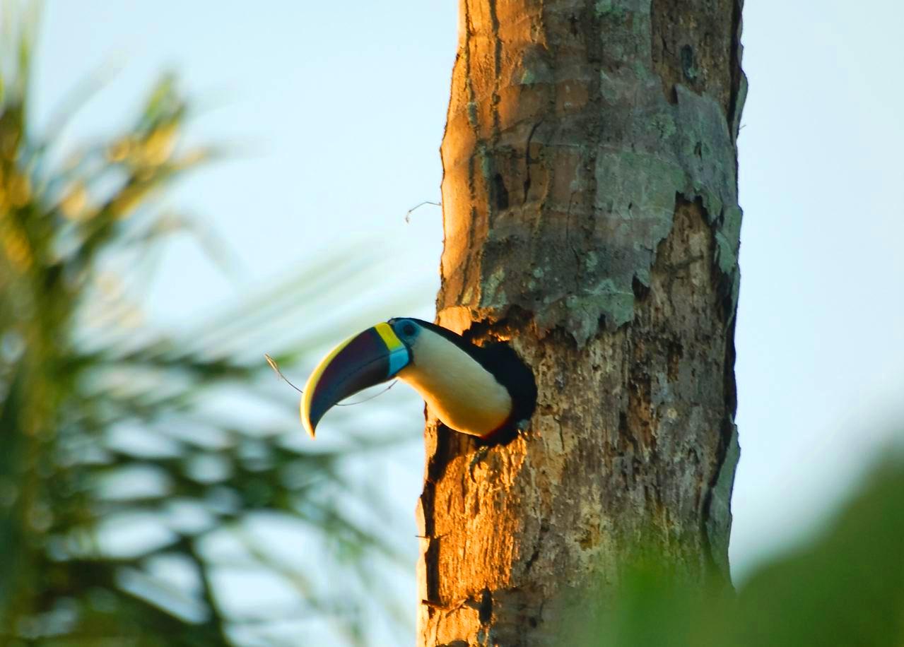 Toucan du Delta