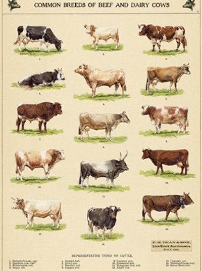 Breeds of Beef Vintage Poster