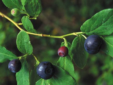 I'll be your Huckleberry: Picking Hucklberries