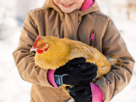 5 Essentials for Backyard Chickens