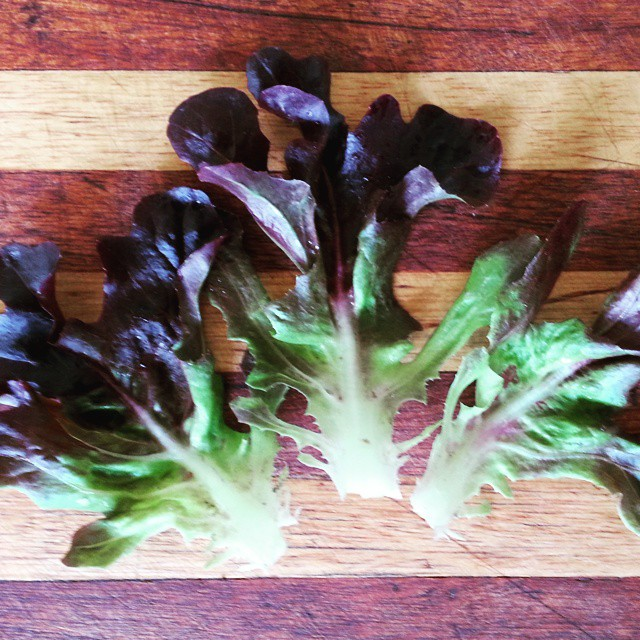 Instagram - Red oakleaf lettuce leaves found in our Premium Salad Greens Mix