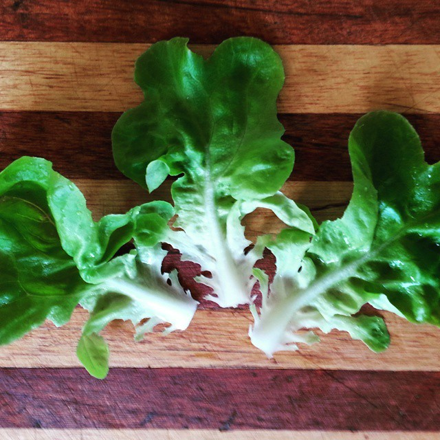 Instagram - Green oakleaf lettuce leaves found in our Premium Salad Greens Mix