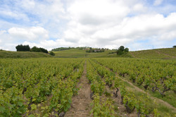 Vines of the wine estate