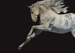 White Stallion (Three Quarters with movement)