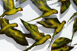 Flock of Rose ring-necked Parakeets