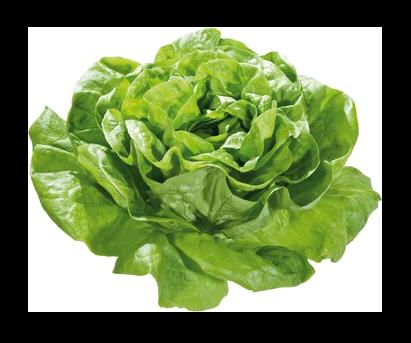 Salade LAITUE (902)