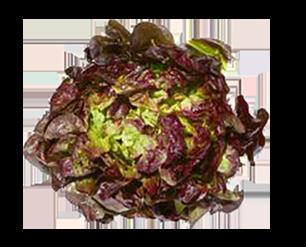 Salade FEUILLE DE CHENE Rouge (904)