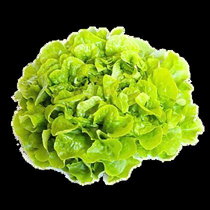 Salade FEUILLE DE CHENE Blonde (905)
