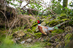 Wicklow Pheasant