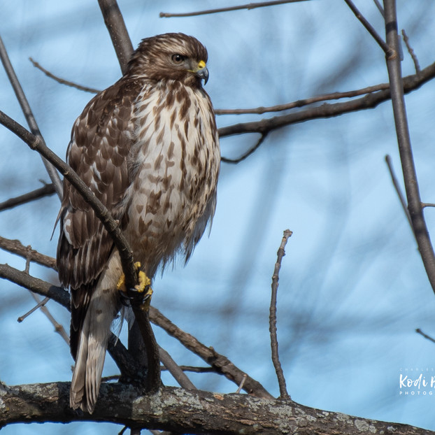 Hawk Collection