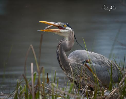 Great Blue Heron fishing - @CharlesMarshPhotography