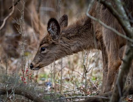 Deer - @CharlesMarshPhotography
