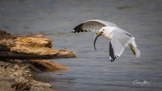 Seagull-7946.jpg